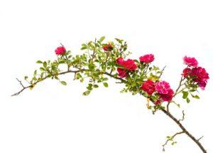 Town Flower: Wild Rose